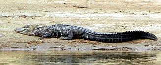 Black caiman - Image: Melanosuchus niger (cropped 01)