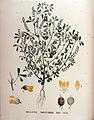 Melilotus parviflorus — Flora Batava — Volume v18.jpg