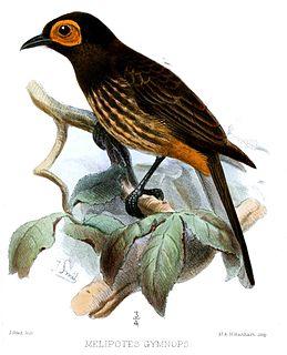 Arfak honeyeater species of bird