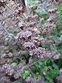 Melissa officinalis seeding, 2020-12-06, Beechview.jpg
