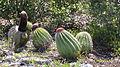 Melocactus intortus (6977488973).jpg