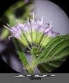 Mentha aquatica sl15.jpg