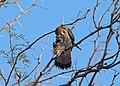 Merlin with prey II reparian preserve (14274173401).jpg