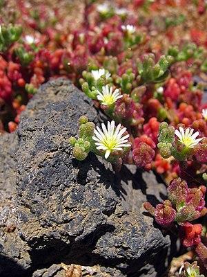 Mesembryanthemum - Mesembryanthemum nodiflorum