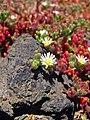 Mesambryanthemum nodiflorum.jpg