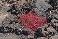 Mesembryanthemum sp.-pjt1.jpg