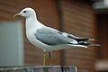 Mew Gull, McKinley Park, Alaska 1.jpg