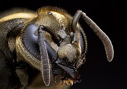 Mexican Honey Wasp.jpg