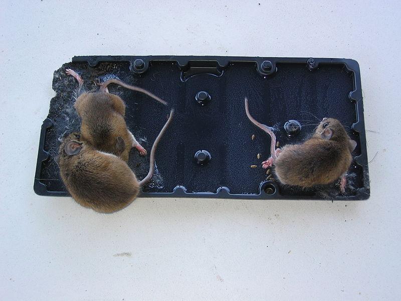 File:Mice on a glue trap.JPG