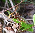 Milesia crabroniformis - Flickr - gailhampshire (2).jpg
