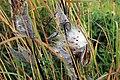 Milkweed seeds (15330828382).jpg