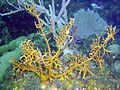 Millepora alcicornis, isla Juventud.jpg