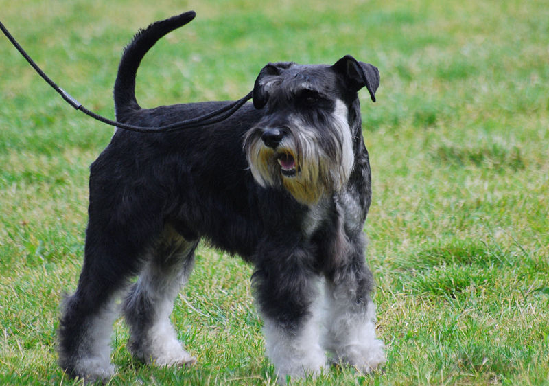 Giant Schnauzer Dog Names