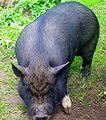 Miniature pig, Minischwein, Minigris Skansen Sweden 1.JPG