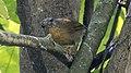 Mixornis flavicollis.jpg