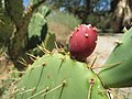 Mojave Prickly-Pear Cactus (18080383262).jpg