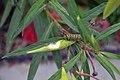Monarch Caterpillar (14930702059).jpg