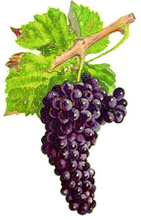 Mondeuse noire Variety of grape