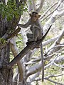 Monkey from Savandurga IMG 2526.jpg