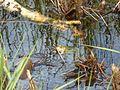 Moorfrosch (Rana Arvalis).jpg