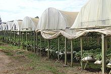 cultivo hidropnico de fresas