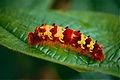 Morpho Caterpillar (Morpho antimachus) (10606400693).jpg