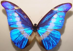 English: The butterfly species Morpho helena S...