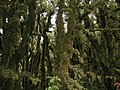 Moss-covered trees on Mount Climie.jpg