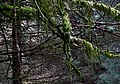 Moss covered branches, Nant Gwernog Plantation, Ceredigion - geograph.org.uk - 1233598.jpg