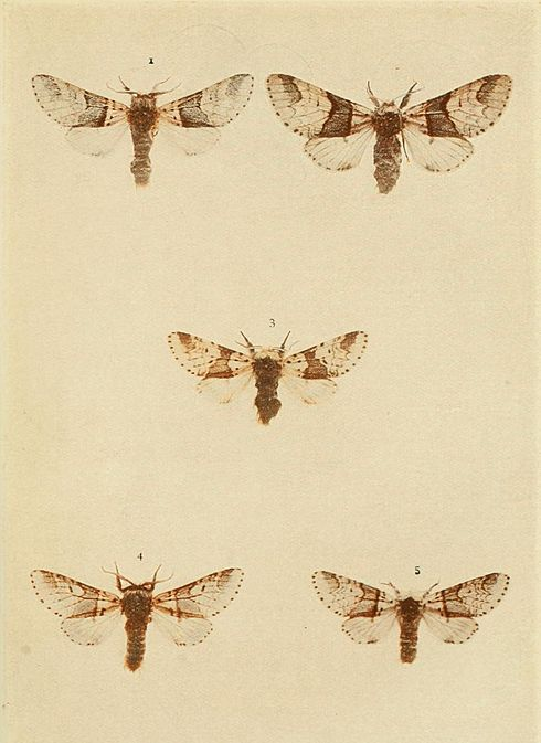 Moths of the British Isles Plate022.jpg