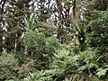 Mountain Cabbage Trees and ferns on Mount Climie.jpg