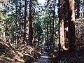 Mt.Haguro stone steps and cedar trees.jpg