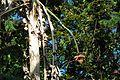Musa x paradisiaca-Japoniar bananondo 27.jpg
