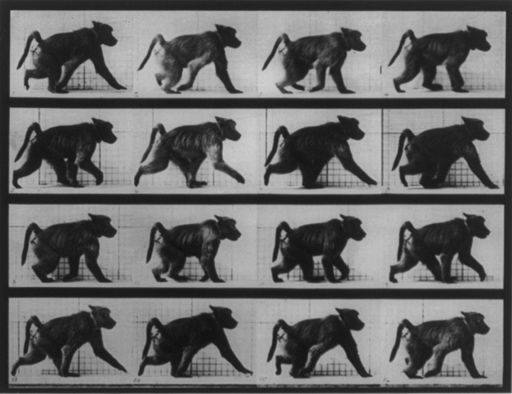 Muybridge baboon running 1