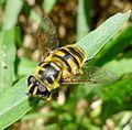 Myathropa florea. Syrphidae - Flickr - gailhampshire (1).jpg