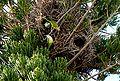 Myiopsitta monachus -nests-8b.jpg