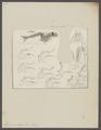 Mysis spinulosus - - Print - Iconographia Zoologica - Special Collections University of Amsterdam - UBAINV0274 097 12 0004.tif