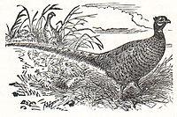 Изображение обыкновенного фазана зеравшанского