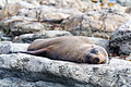 NZ280315 Kaikoura Fur Seal 01.jpg