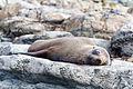 NZ280315 Kaikoura Fur Seal 01.jpg