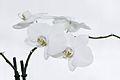 Nachtfalter Orchidee, Phalaenopsis 11.JPG