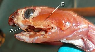 Naja - Dissected head of Naja melanoleuca showing (A) the fangs and (B) the venom gland
