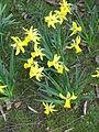 Narcissus February Gold01.jpg