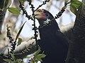 Narcondam Hornbill DSCN2147 13.jpg