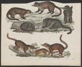 Nasua spec. - 1700-1880 - Print - Iconographia Zoologica - Special Collections University of Amsterdam - UBA01 IZ22600161.tif