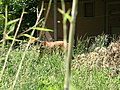 National Zoo Red Wolf 2 (822038662).jpg