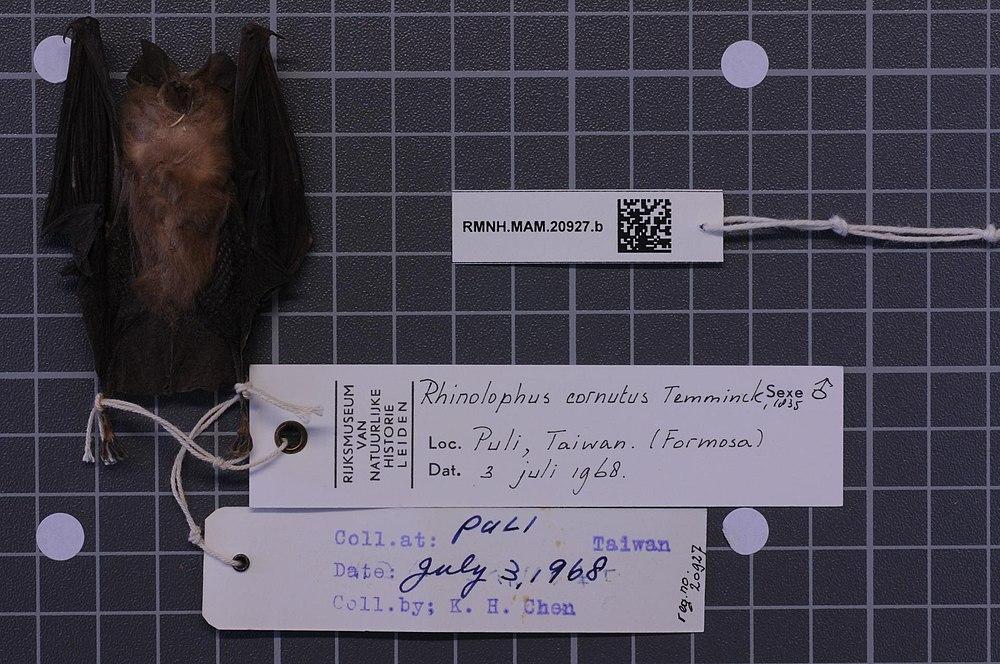 The average litter size of a Little Japanese horseshoe bat is 1