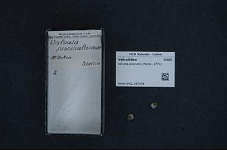 Heinrich Wolfgang Ludwig Dohrn - Mollusca collected by Heinrich Dohrn