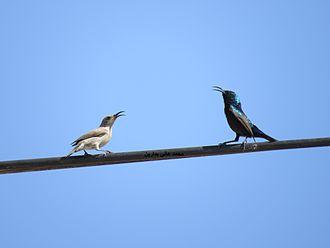 Palestine sunbird - Pair in south Hebron.
