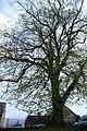 Nehodiv, památný strom II.jpg